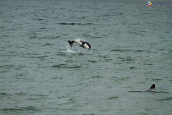Hector Dolphin em Curio Bay na Nova Zelândia