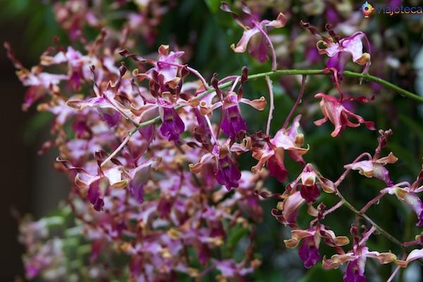 Jardim Nacional das Orquídeas de Singapura 234