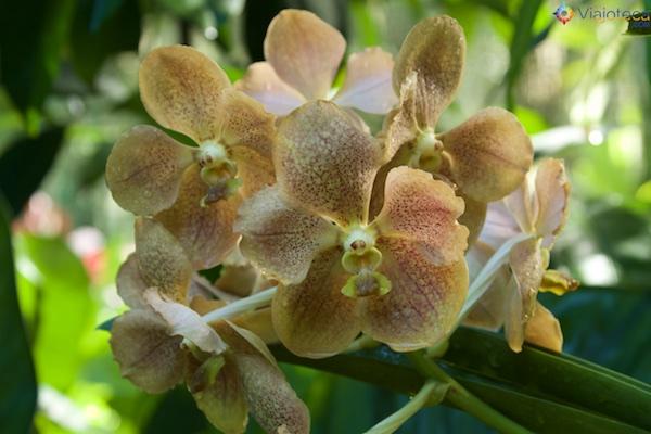 Jardim Nacional das Orquídeas de Singapura 248