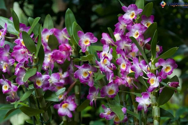 Jardim Nacional das Orquídeas de Singapura 262