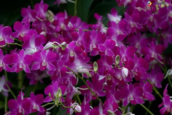 Jardim Nacional das Orquídeas de Singapura 264