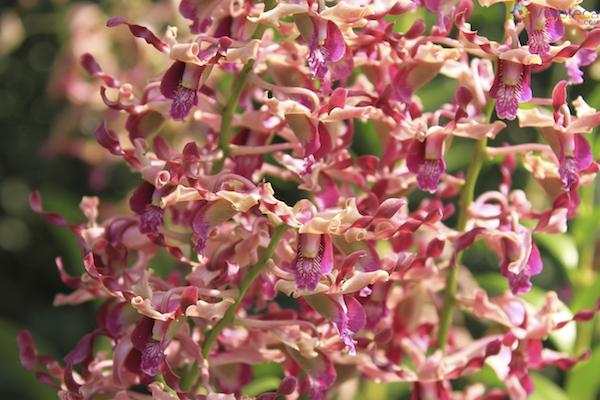Jardim Nacional das Orquideas de Singapura (22)