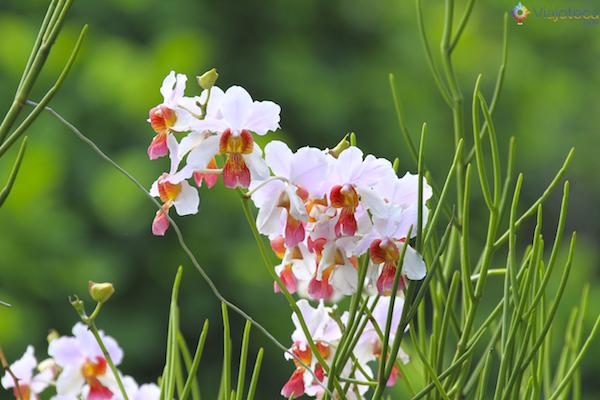 Jardim Nacional das Orquideas de Singapura (29)