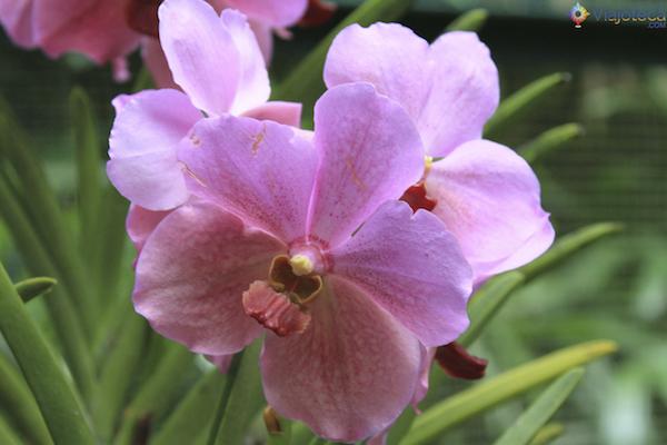 Jardim Nacional das Orquideas de Singapura (36)