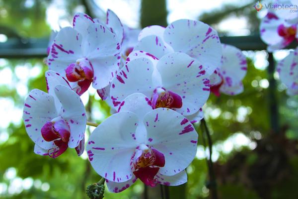 Jardim Nacional das Orquideas de Singapura (38)