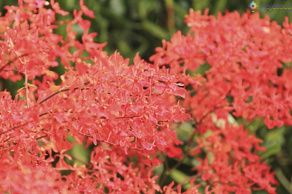 Jardim Nacional das Orquideas de Singapura (48)