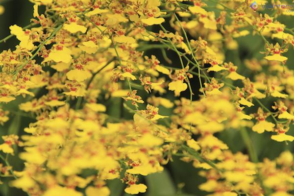 Jardim Nacional das Orquideas de Singapura (49)