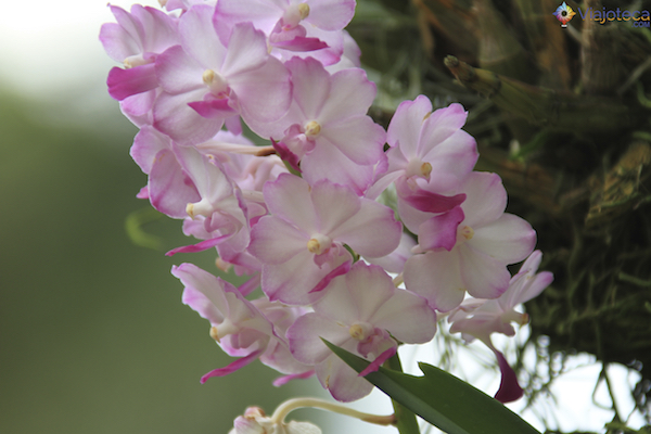 Jardim Nacional das Orquideas de Singapura (74)