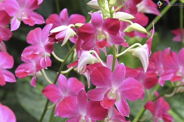 Jardim Nacional das Orquideas de Singapura (84)