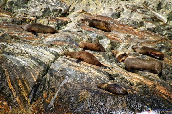 Leões Marinhos Milford Sound - Nova Zelândia