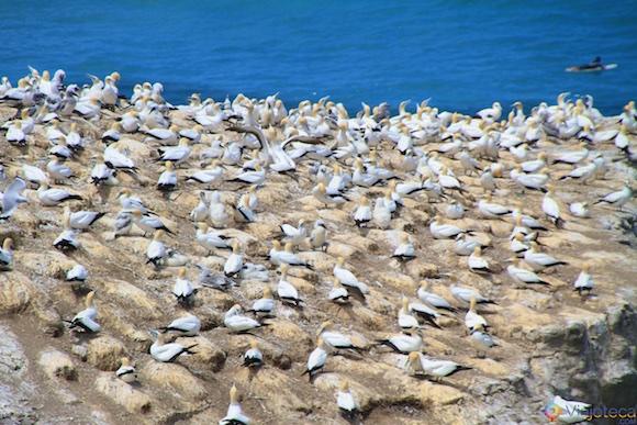 Muriwai Beach e Gansos Patola em Auckland 020