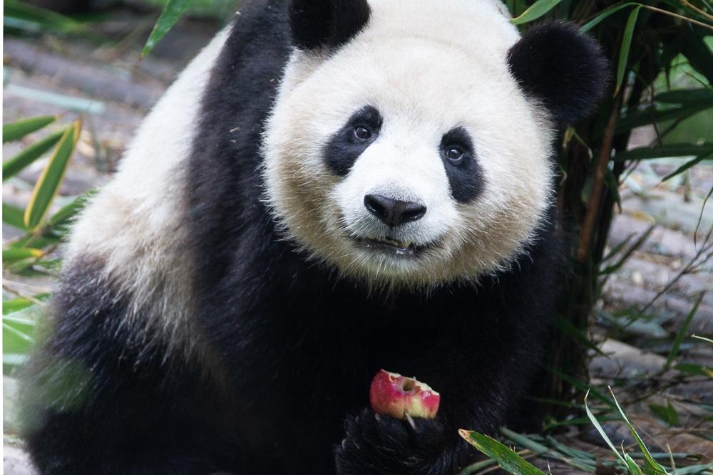 Pandas na China