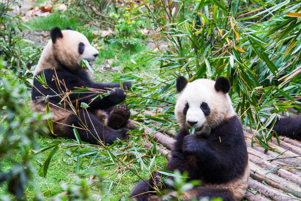 Onde ver pandas na China