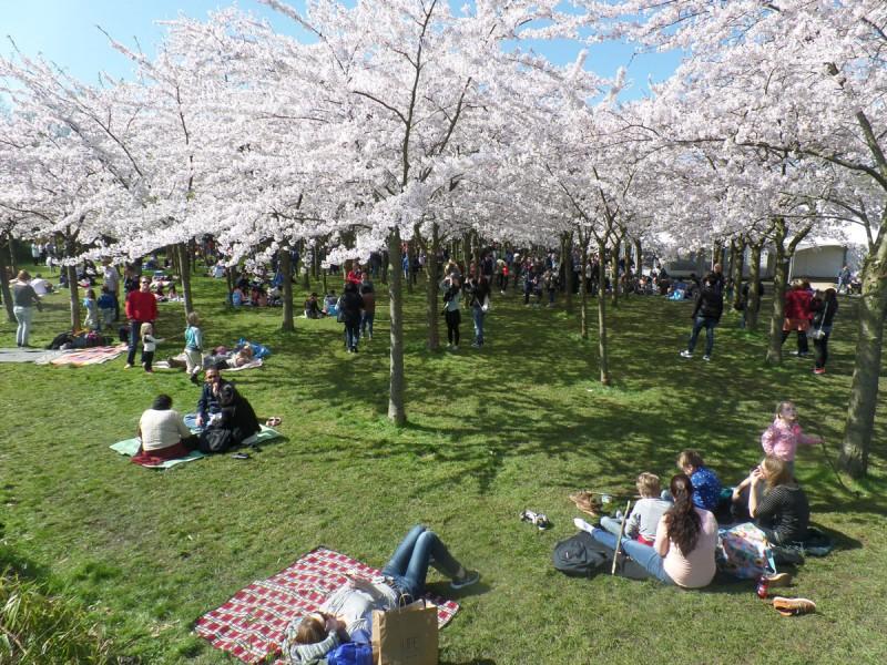 Florada das cerejeiras em Amsterdã