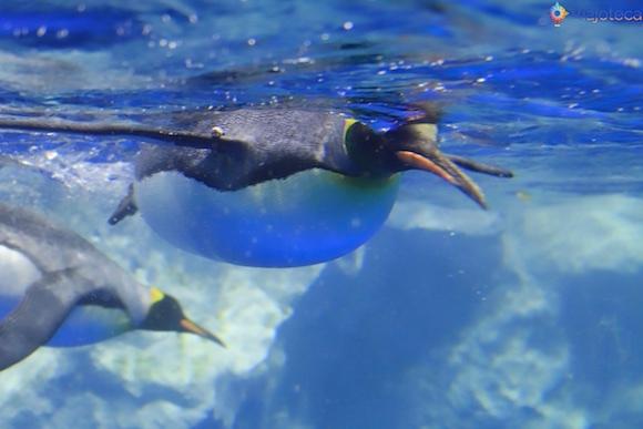 Penguins no Aquário de Auckland (18)