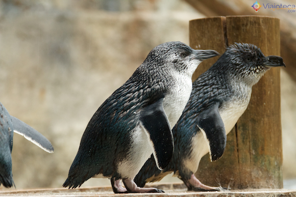 Pinguins na Nova Zelândia - Pinguim Azul (Eudyptula minor)