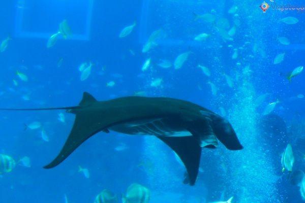 Manta Ray no Aquario em Singapura