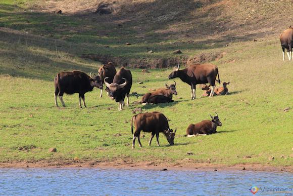 Gauro: O bisão indiano no Periyar Lake no Kerala