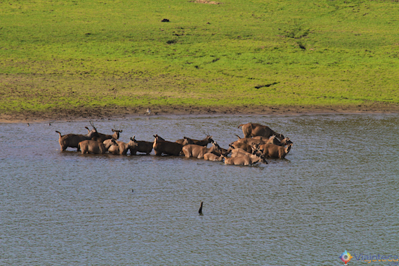 Sambar no Periyar Lake no Kerala