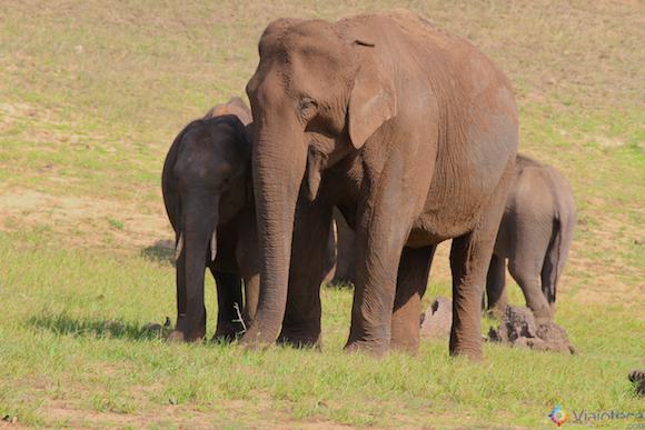 Elefantes selvagens em Thekkady