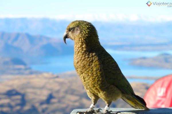 Kea, espécie de papagaio alpino curtindo o visual de treble Cone