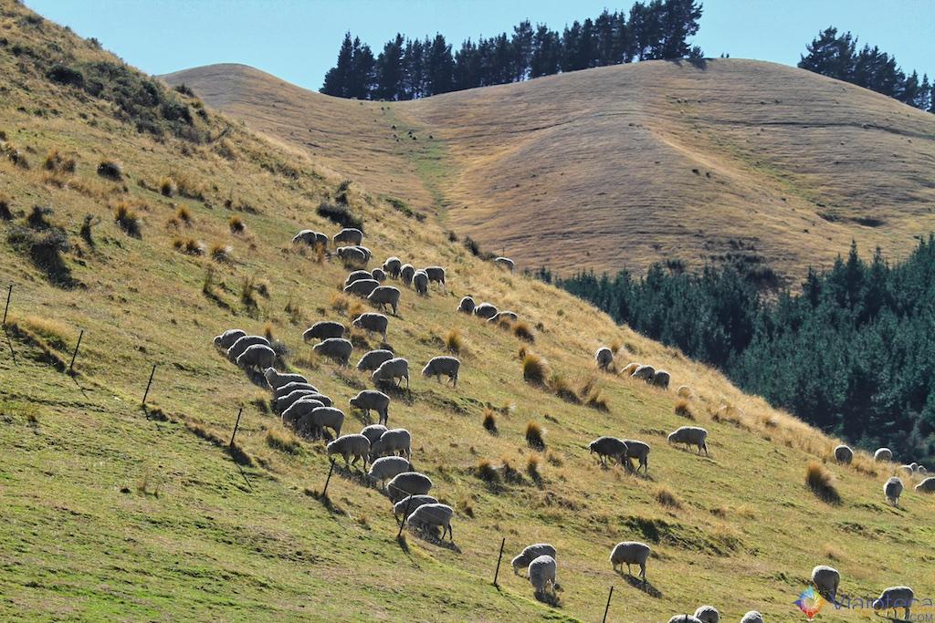 Viagem Trem Nova Zelândia - Coastal Pacific 67