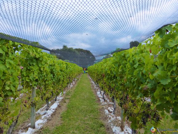 Vinhos Nova Zelândia - Waiheke Island (47)