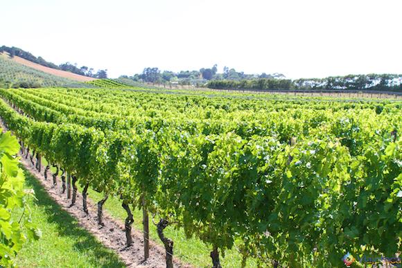 Vinhos Nova Zelândia - Waiheke Island (5)
