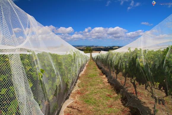 Vinicolas em Auckland- Matakana Wine Trail 12
