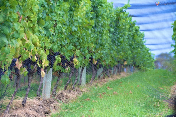 Vinicolas em Auckland- Matakana Wine Trail 33