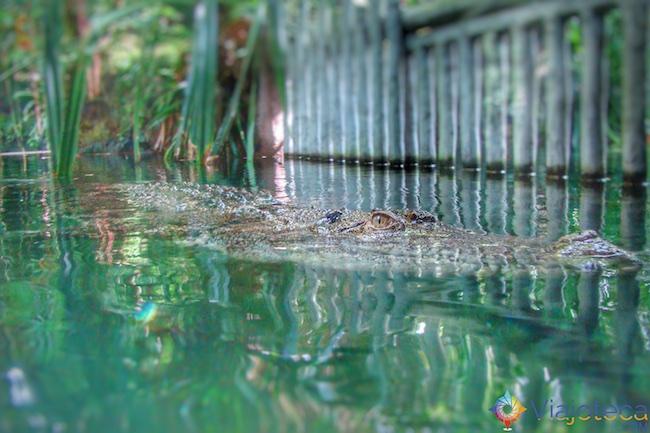 Crocodilo no Zoológico de Singapura