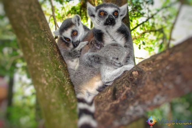 Lêmures no Zoológico de Cingapura