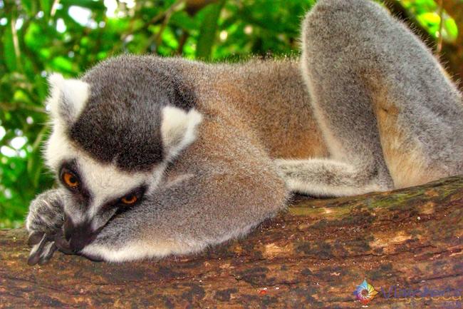 Lemur no Zoológico de Singapura