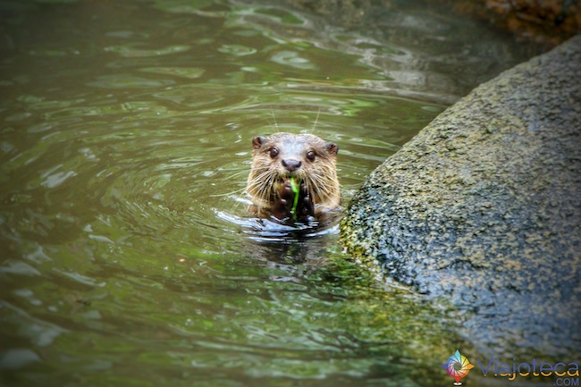 Lontra no Zoológico de Cingapura