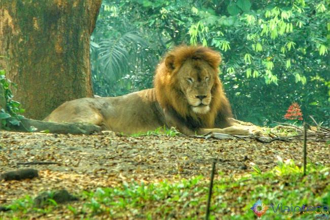 Leão no Zoológico de Singapura