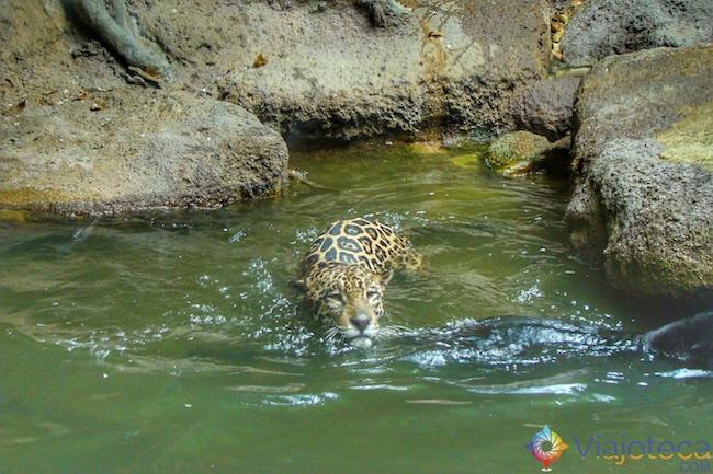 Onça Pintada no no Zoológico de Singapura