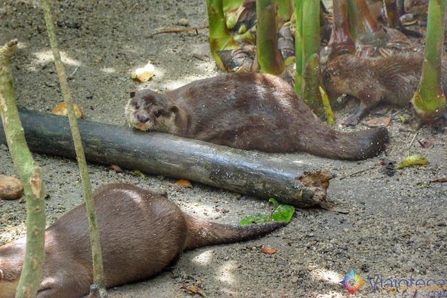 Lontras no Zoológico de Cingapura
