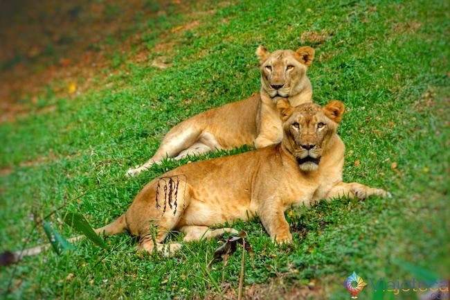 Leoas no Zoológico de Singapura