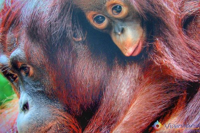 Orangotango no Zoológico de Cingapura