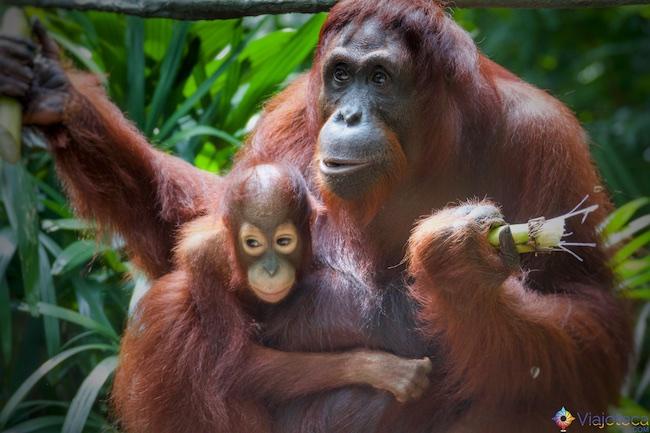 Orangotango e filhote no Zoológico de Singapura