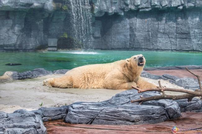 Urso Polar no Zoológico de Singapura