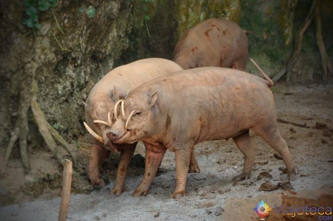 Babirusa no Zoológico de Singapura