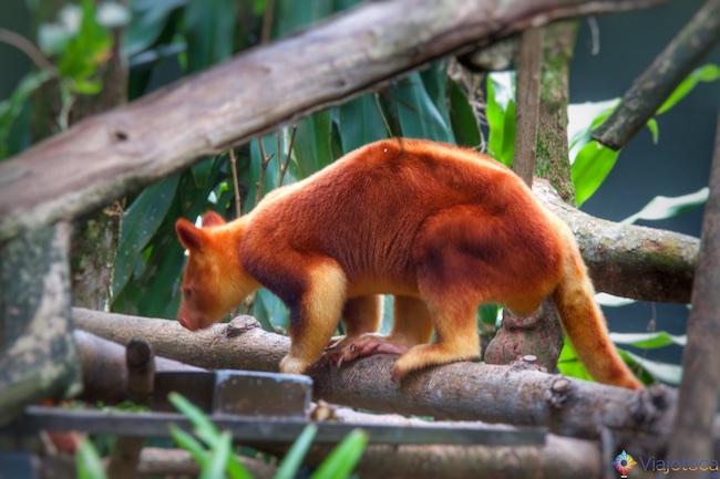 Wallaby australiano no Zoológico de Singapura