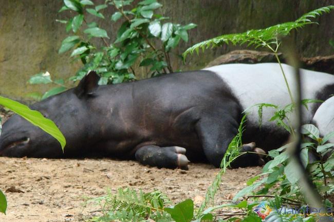 Tapir Malaio no Zoológico de Cingapura