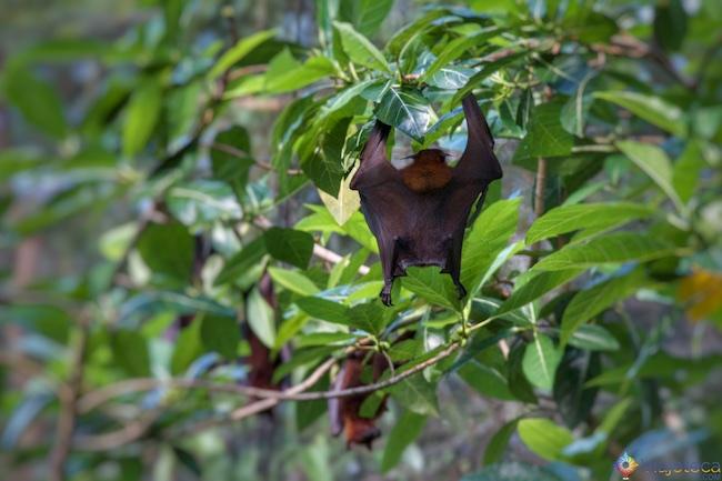 Morcego no no Zoológico de Singapura