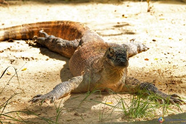 Dragão de Komodo no Zoológico de Singapura