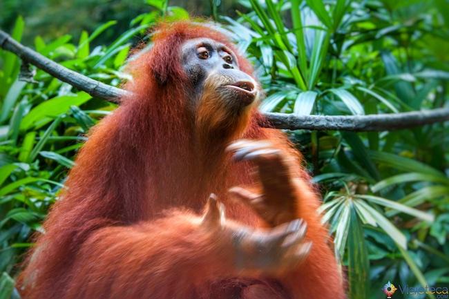 Orangotango no Zoológico de Singapura