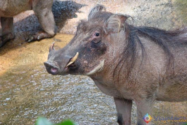 Pumba no Zoológico de Singapura