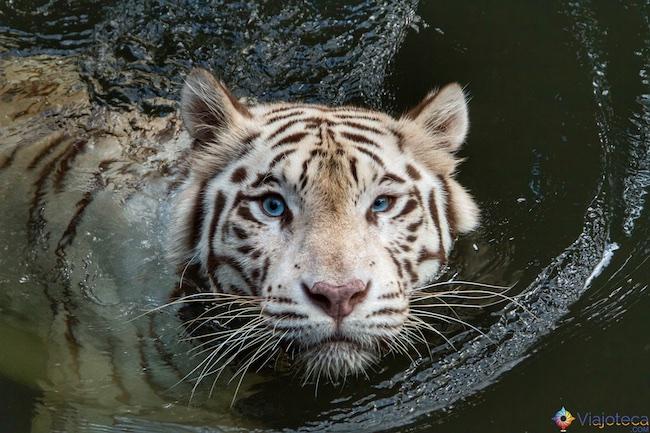 Tigre Albino no Zoológico de Singapura