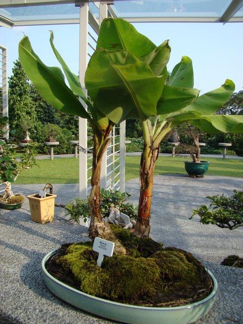 Bonsai Bananeira